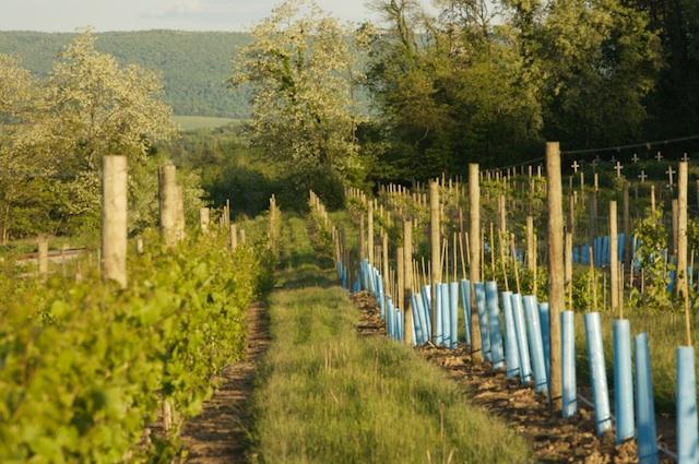 Spring in the vineyard